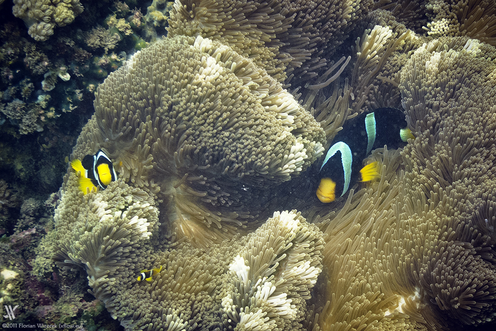 Anemonenfische Wikipedia Autos Post