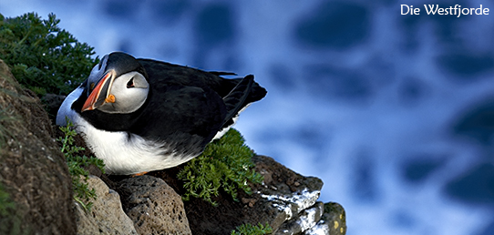 Reisebericht - Die Westfjorde Islands - Tausende Seevögel und dramatische Klippen