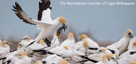 Travel Report New Zealand - Gannet colony Cape Kidnappers