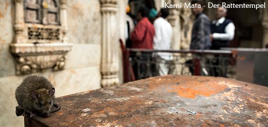 Reisebericht - Nordindien - Rattentempel Karni Mata
