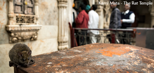 Travel Report - North India - Rat Temple 'Karni Mata'