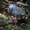 New Caledonia – Kagu's threatened Home