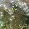 Sebae Clownfish